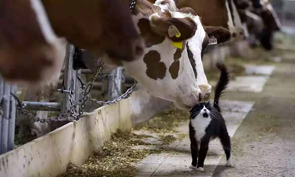 a cow and a cat
